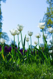 Colorful spring lawn with white tulips in garden. Royalty Free Stock Photography