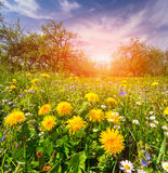 Colorful spring morning in apples garden. Royalty Free Stock Images