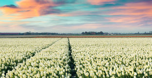 Colorful spring morning on the tulip farm near Espel village Stock Images