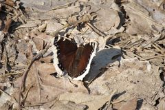 Gonepteryx rhamni mourning cloak, camberwell beauty on a dad leaves royalty free stock images