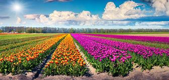 Colorful spring panorama of tulip farm Stock Images
