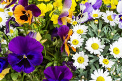 Colorful spring summer season flowers in garden with violets daisies and other greenery bright fresh nature park and outdoor Royalty Free Stock Photo