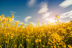 Colorful spring sunrise among field of blossoming colza Stock Images