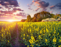 Colorful spring sunrise in field of yellow flowers. Royalty Free Stock Image