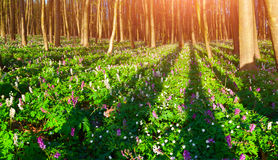 Colorful spring sunrise in forest Royalty Free Stock Image