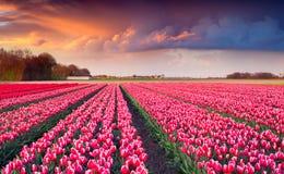 Colorful spring sunrise on the tulip farm near the Creil town Stock Photography
