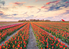 Colorful spring sunrise on the tulip farm near the Espel village Stock Images