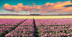 Colorful spring sunrise on the tulip farm near Espel village Stock Photos