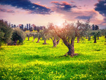 Colorful spring sunset in the tangerine garden at Cape Milazzo Royalty Free Stock Images