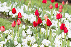 Colorful Spring tulip background. Summer Stock Image