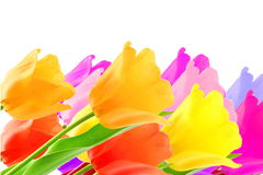 Colorful spring tulip flower as background with text copy space Royalty Free Stock Photography