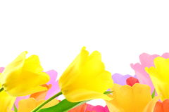 Colorful spring tulip flower as background with text copy space Stock Photography