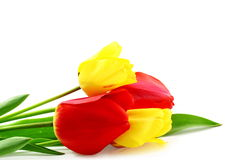 Colorful spring tulip flower on pure white background Stock Image