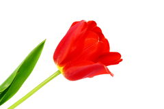 Colorful spring tulip flower on pure white background Royalty Free Stock Photography