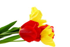 Colorful spring tulip flower on pure white background Stock Photos