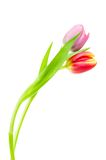 Colorful spring tulips Royalty Free Stock Photography