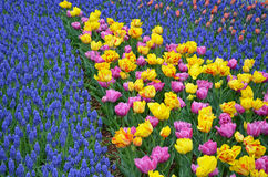 Colorful spring tulips and bluebells Royalty Free Stock Photo