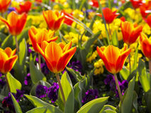Colorful spring tulips flower bed Stock Photos
