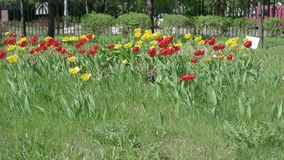 Colorful spring tulips flowerbed in the park UHD. 4K footage video stock video