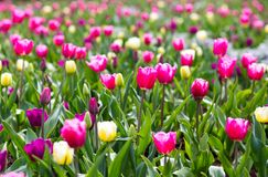 Colorful tulip flowers blooming in a garden flower bud. Colorful spring tulips flowers blooming in a garden flower bud royalty free stock photos