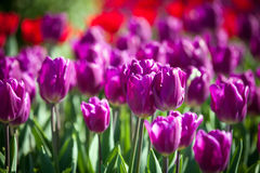Colorful Spring Tulips in a garden Stock Photo
