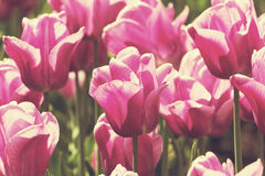 Colorful Spring Tulips Stock Images