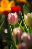 Colorful spring tulips with spray water Stock Image