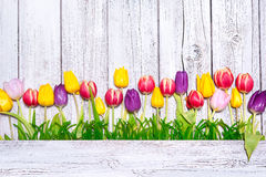 Colorful spring tulips Royalty Free Stock Images