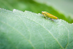 Colorful Stare Horizontal. Close up of insect sitting on sunflower leaf Stock Image