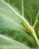 Colorful Stare Vertical. Close up of insect sitting on sunflower leaf Royalty Free Stock Images