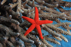 Colorful starfish Royalty Free Stock Photography