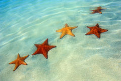 Colorful starfish in the water. Five orange and red starfish in the warm caribbean water close to the shore Stock Photography