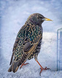 Colorful Starling in Winter Snow Stock Image