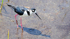 Colorful Stilt Bird Royalty Free Stock Photo