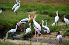 Colorful storks, Srí Lanka Stock Photo