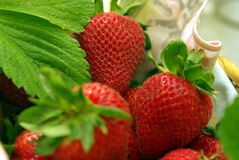 Colorful Strawberries In A Basket. Fresh picked Strawberries with morniing dew on the leaves Royalty Free Stock Photo