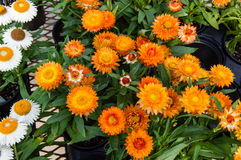Colorful strawflowers in full bloom Royalty Free Stock Image