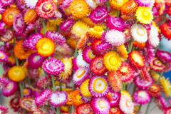 Colorful strawflowers. Scientific name is Helichrysum bracteatum Royalty Free Stock Photos