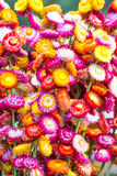 Colorful strawflowers. Scientific name is Helichrysum bracteatum Royalty Free Stock Images