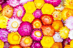 Colorful strawflowers. Scientific name is Helichrysum bracteatum Stock Photography