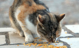 Colorful stray cat eating potato chips. Picture of a colorful stray cat eating potato chips Stock Photo