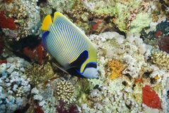 Colorful striped tropical Emperor angelfish. Royalty Free Stock Photo