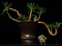 Colorful Succulent plant Stock Photography