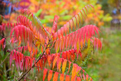 Colorful Sumac Leaves. Colorful vibrant leaves on a sumac plant during the autumn season Stock Photos