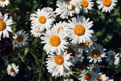 Colorful summer background of white daisy flowers. Summer, spring concepts. Beautiful nature background. Macro view of abstract na royalty free stock photo