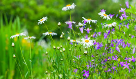 Colorful summer flowers grow on green meadow Stock Images