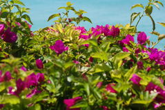 Colorful summer flowers. With ocean in background Royalty Free Stock Images