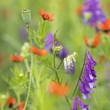Colorful summer flowers bloom in natural french field Royalty Free Stock Images