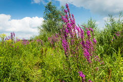Colorful summer landscape with blooming purple loo Royalty Free Stock Image