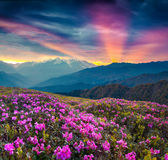 Colorful summer landscape with blooming rhododendron flowers. Dramatic sunrise in the Caucasus mountains, Upper Svaneti, Georgia, Europe. Artistic style post royalty free stock images